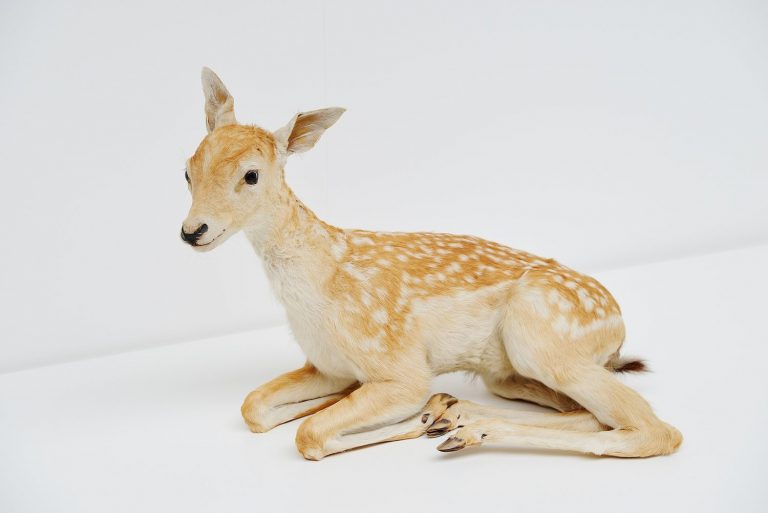 Taxidermy baby deer Holland 1950